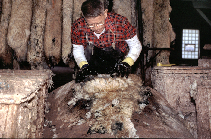 Frank Hayson pulls wool from a pelt. The wool was loosened by the depilatory which was applied to the skin side of the pelt the night before. Photo by author.